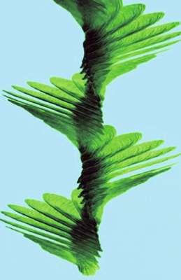 Fig. 5. Chronophotographie de la chute d'une samare d'érable. La fréquence de rotation de la samare est de 15 à 30 Hz (elle fait de 15 à 30 tours sur elle-même en une seconde). La prise de vue a été effectuée à 1.000 images par seconde. © DR