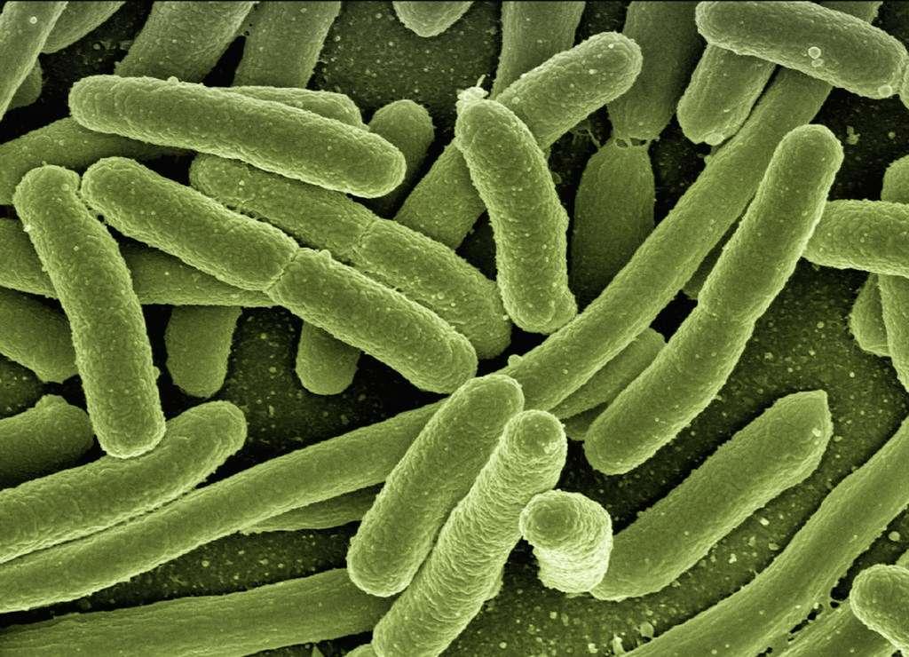 L'ensemble des bactéries qui peuplent le corps humain constitue son microbiote. Ce dernier est varié. Pourtant, la bactérie Escherichia coli — qui vit dans notre côlon — est sans doute la plus connue des quelque 38.000 milliards de bactéries que nous abritons. © geralt, Pixabay, DP