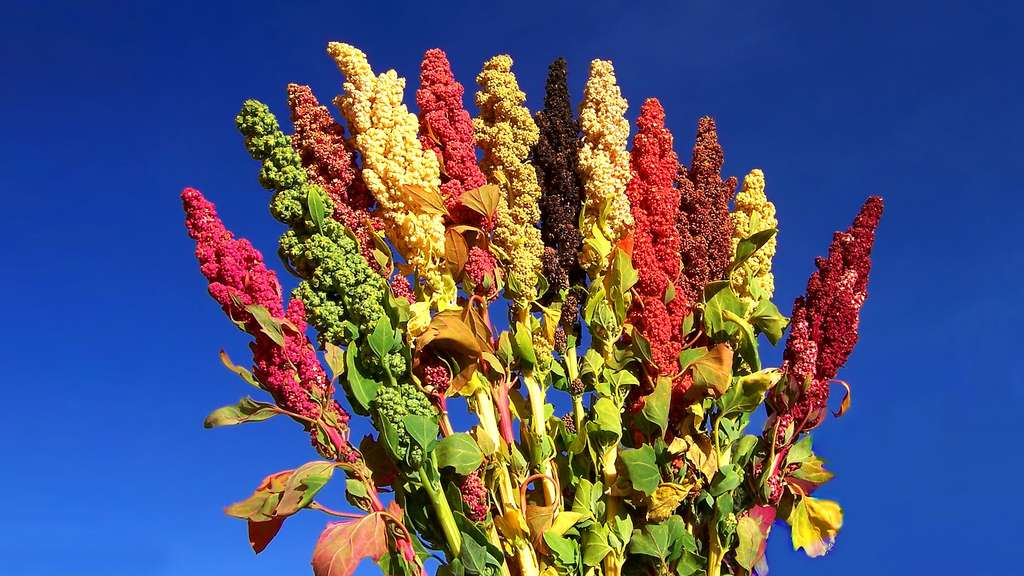 Le quinoa, riche en protéines