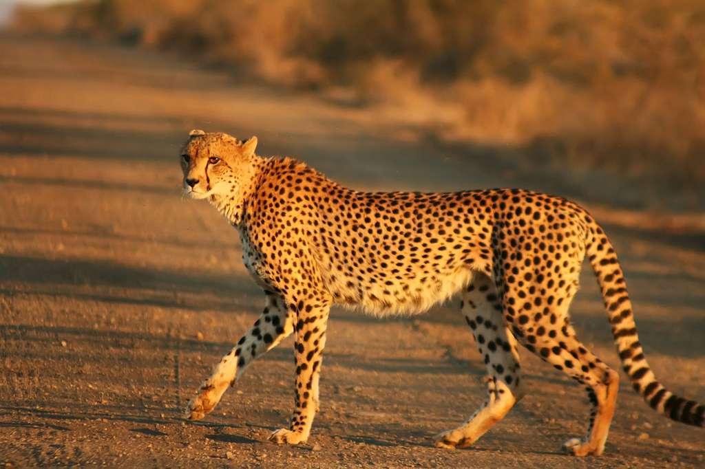 Guépard traversant un sentier. © Mukul2u, CC by 3.0
