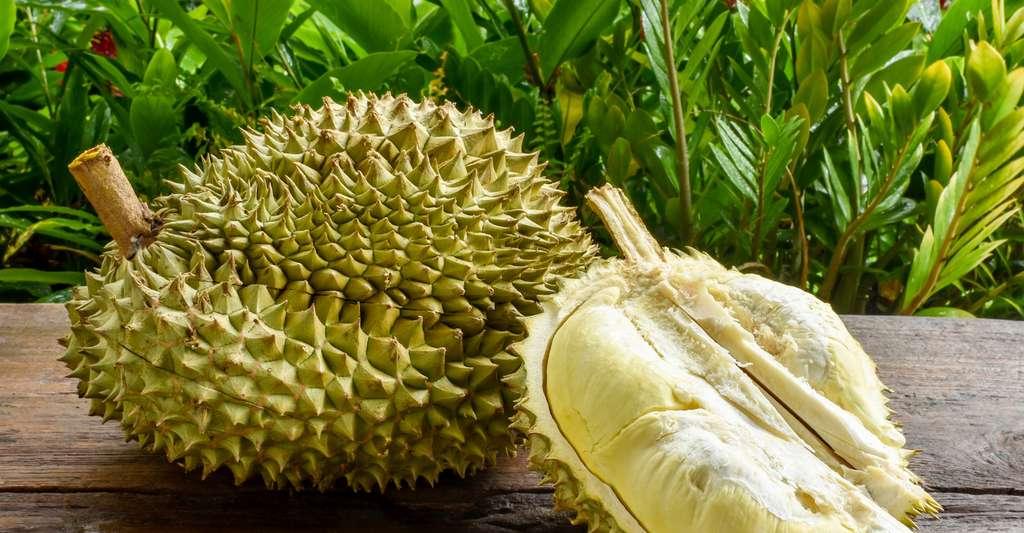 Les Asiatiques lui prêtent des propriétés presque magiques. Pourtant le durian doit être consommé avec modération en raison de sa haute teneur en soufre puis, parce qu'il est très riche en sucres et particulièrement gras. © pondpony, Fotolia
