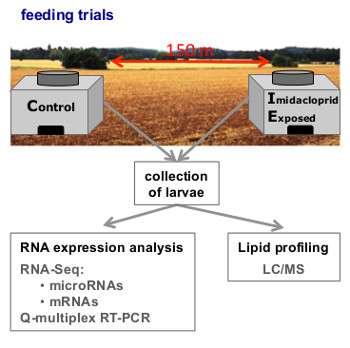 L'équipe de Nottingham a contaminé des larves d'une ruche à l'imidaclopride. Ils ont ensuite comparé l'expression de leurs gènes (RNA expression analysis, analyse de l'expression d'ARN) et leur profil lipidique (Lipid profiling) à d'autres larves, d'une ruche saine, située à 150 m d'eux. © Kamila Derecka et al., Plos One