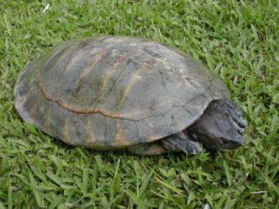 Les tortues Dermatemys sont les dernières survivantes de la famille des Dermatemydidae. Cousines des « tortues géantes de rivière » d'Amérique centrale, elles restent de dimensions modestes avec 65 cm pour 20 kg à l'âge adulte. © Gracia-Gonzalez-Porter