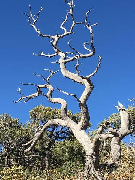 Les travaux des chercheurs de l'université de l'Arizona (États-Unis) montrent que les températures annuelles maximales constituent une variable clé en matière de disparition d'espèce. Ainsi, une hausse de 0,5 °C peut entraîner la perte de 50 % d'une population. À +2,9 °C, c'est 95 % des individus qui disparaissent. Ici, un genévrier à écorce d'alligator mort. Il n'a pas pu faire face à l'augmentation des températures extrêmes. Des relevés montrent toutefois que son espèce est poussée sur les pentes de montagnes sous l'impact du réchauffement climatique. © Ramona Walls, Université de l'Arizona