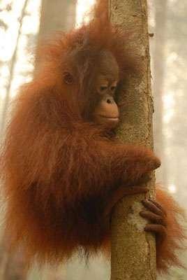 Sauvetage d'orangs-outans en Indonésie dans le cadre des incendies de 2006. © IFAW/ M. Booth