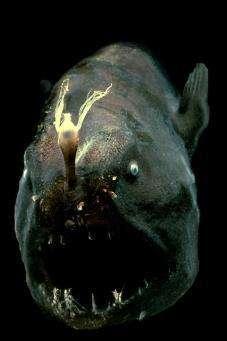 L'une des espèces abyssales observées par l'équipe MAR-ECO On en sait très peu sur ces poissons, mais le mystère de leur mode de reproduction a été en partie percé... (Crédits : Harbor Branch/E.Widder)