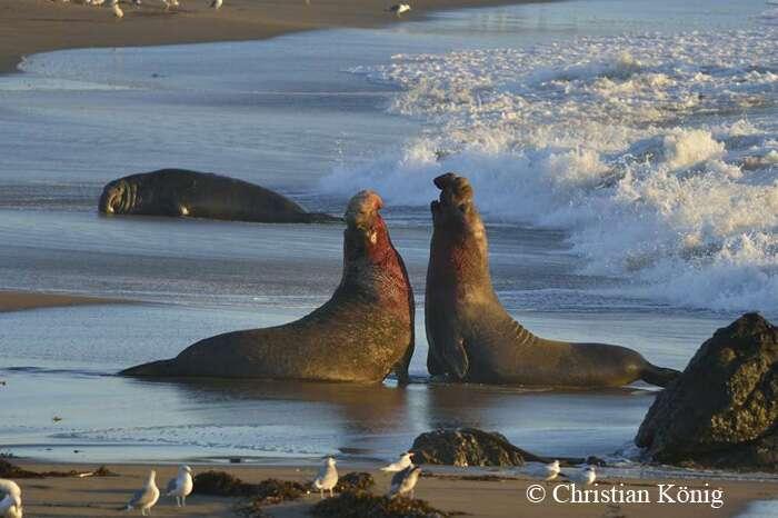 Éléphants de mer dans l'attitude du combat. © Christian König - Tous droits réservés