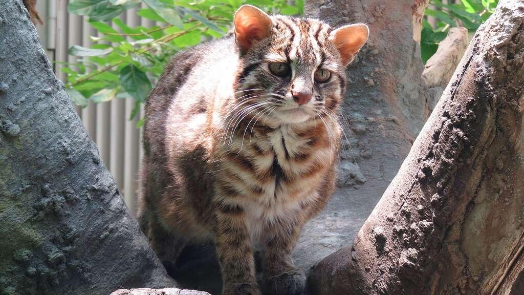 Le chat de Tsushima