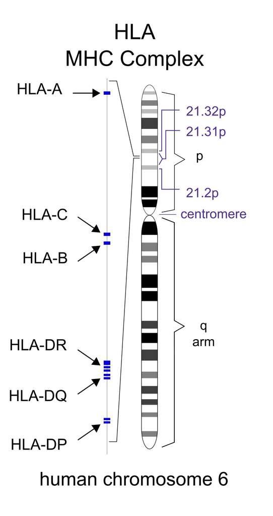 Pour éviter au mieux le rejet de greffe, il faut que donneur et receveur partagent des gènes d'histocompatibilité. Les gènes codant pour le complexe majeur d'histocompatibilité sont situés sur le bras court du chromosome 6 chez l'Homme. © Domaine public, Philip Deitiker, Wikimedia Commons