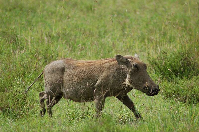 Phacochère au Kenya. © Joachim Huber, Flickr, cc by sa 2.0
