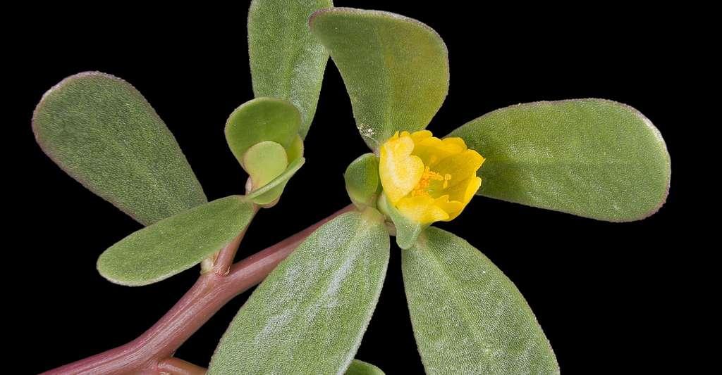 Quels sont les rites et remèdes d'invulnérabilité ? Ici, fleur de pourpier. © Didier Descouens, CC by-sa 4.0