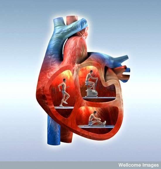 Dans l'espace, le cœur travaille moins. Il faut donc continuer à le faire fonctionner à forte puissance pour ne pas risquer le trouble cardiaque une fois de retour sur le plancher des vaches. Ou des Martiens. © Oliver Burston, Wellcome Images, Flickr, cc by nc nd 2.0