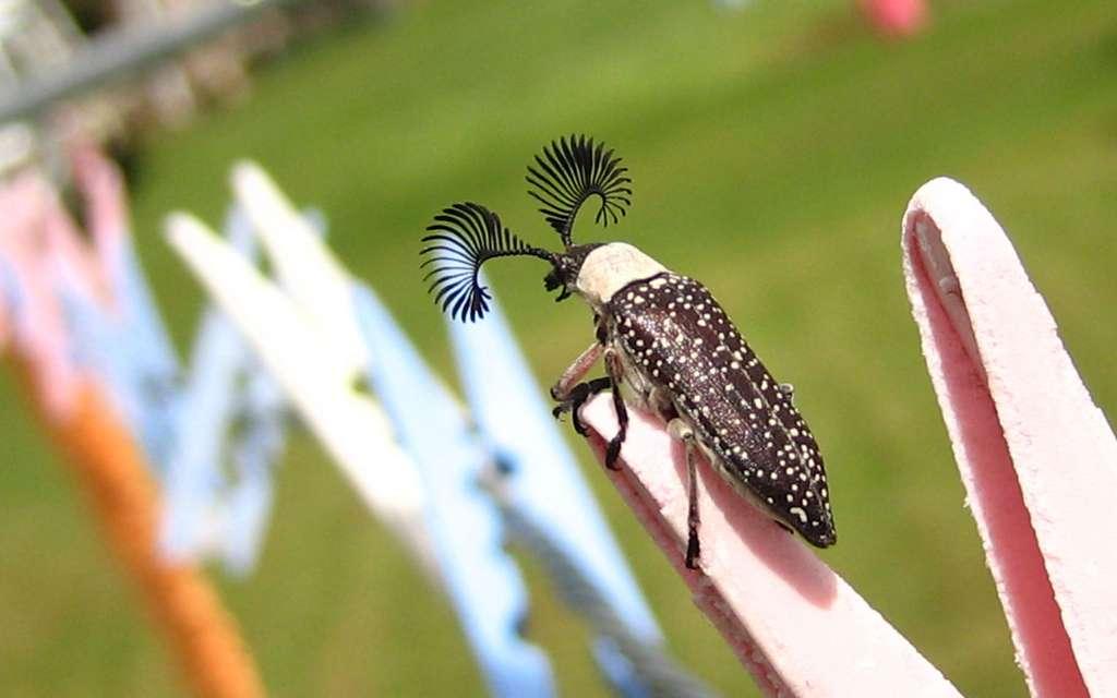 Rhipicera, l'insecte au regard de biche