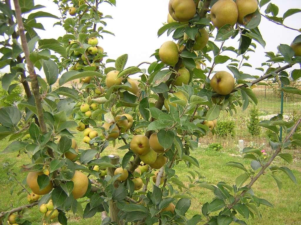 Récoltes abondantes de pommes après un éclaircissage réussi. © S.Chaillot
