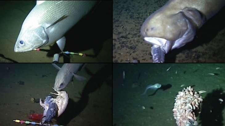 Des poissons et un amphipode (l'espèce de crevette blanche en bas à gauche). © Université d'Aberdeen