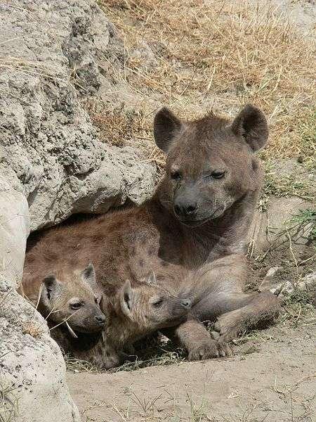 Hyène et ses petits. © Budgiekiller, CCA-S A 2.5 Generic license