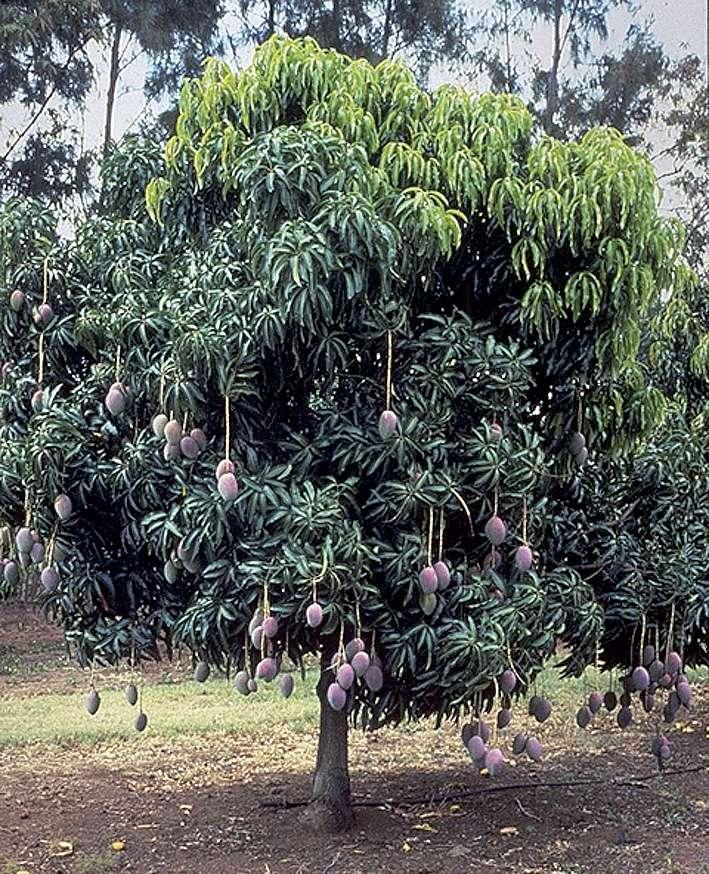 L'huile extraite des noyaux de mangue est aussi une matière grasse autorisée dans le chocolat. © Cirad