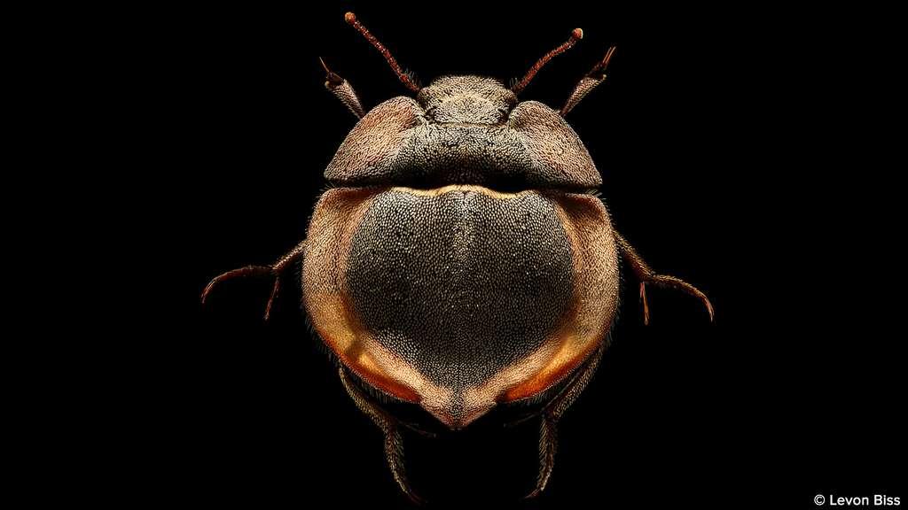 Lepidochora porti, le scarabée soucoupe volante