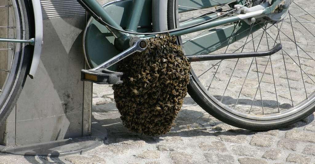 Essaim d'abeilles sur une bicyclette. © Nino Barbieri, CC by-nc 2.5