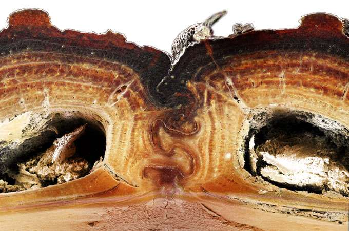 Une coupe transversale de l'exosquelette du Phloeodes diabolicus qui montre la suture qui confère à l'insecte sa grande résistance à l'écrasement. © David Kisailus