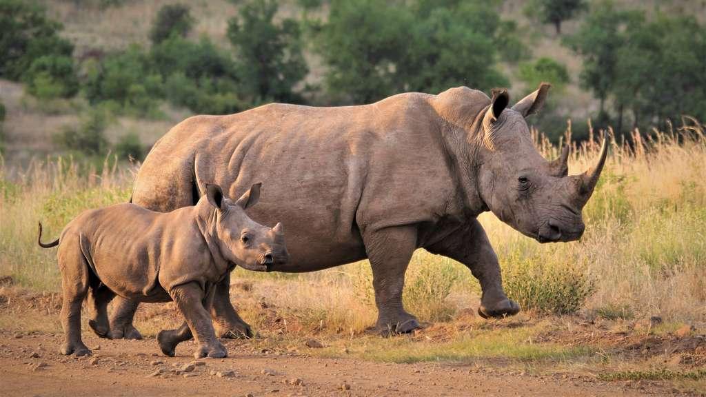 Rhinocéros avec son petit. © Graeme Green, tous droits réservés