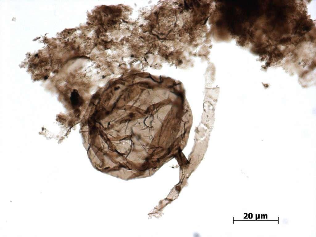 L'image au microscope du spore d'Ourasphaira giraldae, mesurant entre 33 et 80 μm de diamètre. © Corentin Loron et al., Nature, 2019
