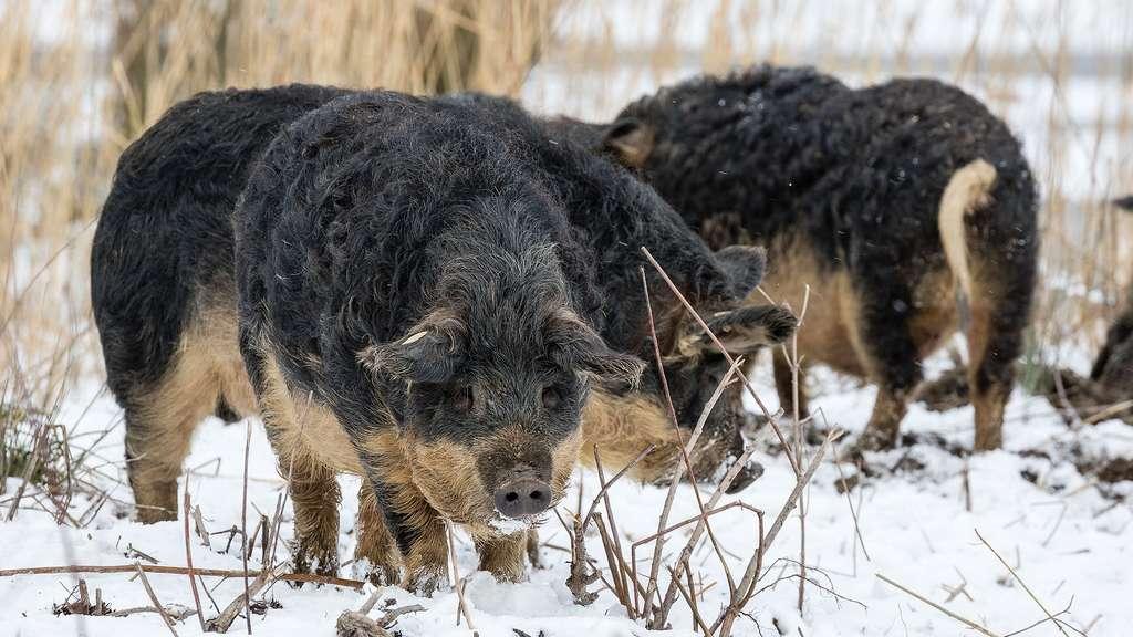 Le porc laineux dans la neige