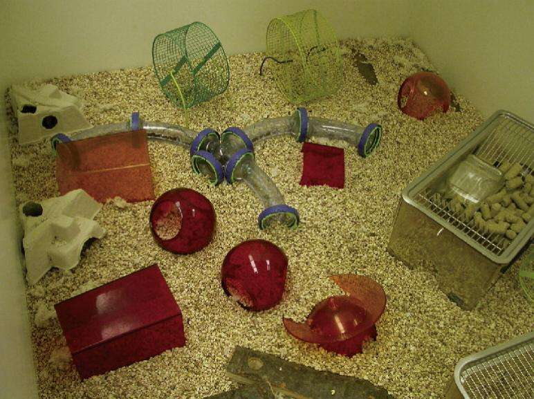 Les souris de l'étude qui ont bénéficié d'une cage très bien équipée en jouets et objets divers semblent avoir été protégés face au développement du cancer. © Cell