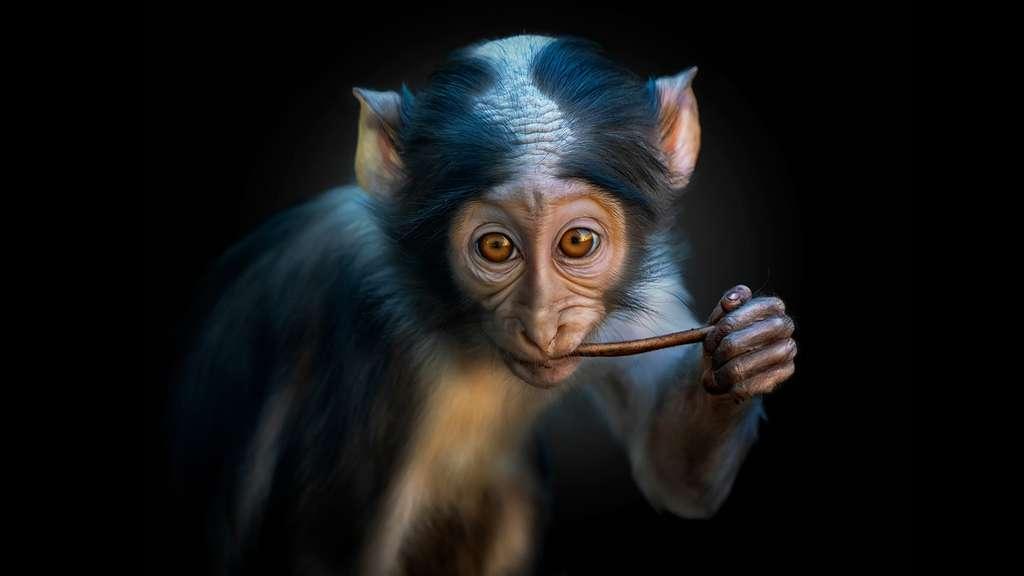 Le singe vert mangabey, porteur sein du SIV