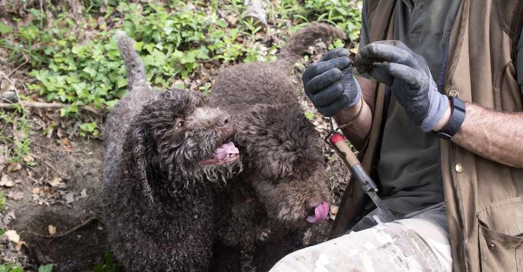 La méthode la plus efficace pour trouver des truffes reste de faire appel au flair d'un chien entraîné. © mubi, Fotolia
