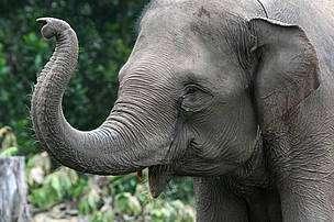 L'éléphant de Sumatra est en danger critique d'extinction. © WWF Indonésie/Samsul Komar