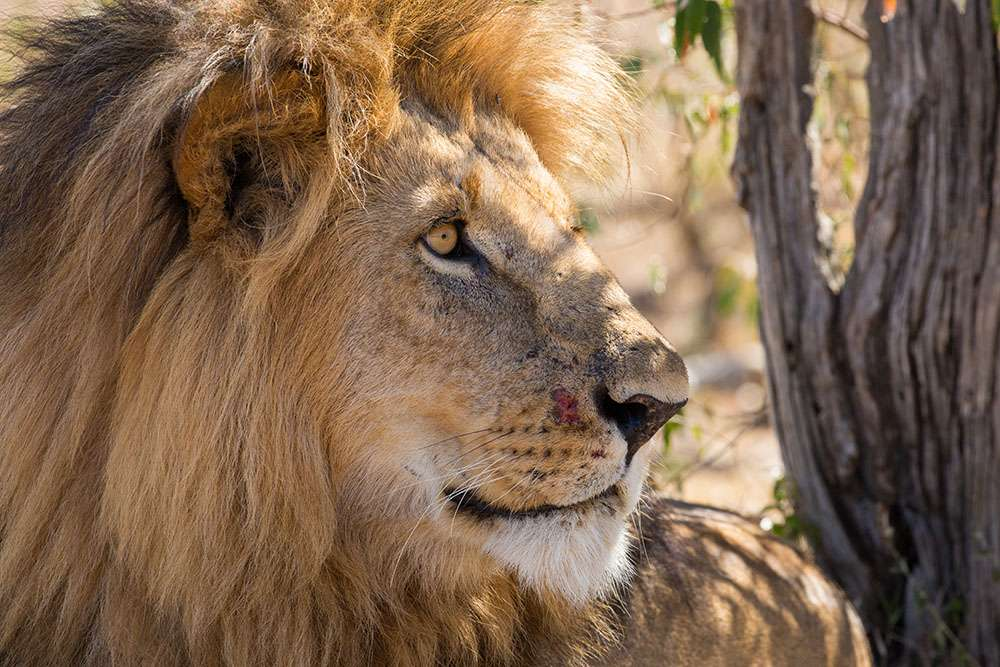 Lion Kenya. © Graeme Green, tous droits réservés, reproduction interdite