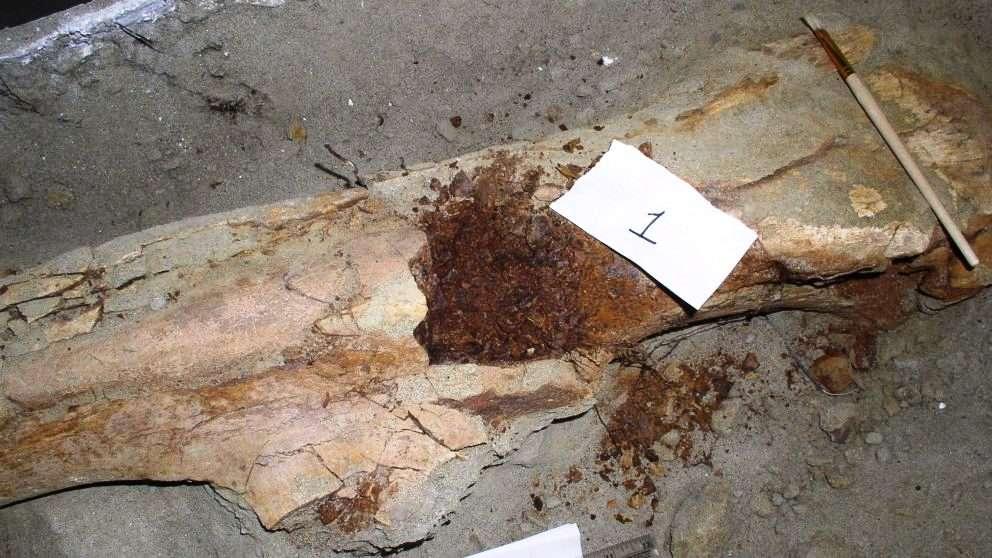 Les restes fossilisés d'un fémur de Brachylophosaur canadensis momifié. © 2017 NC State University
