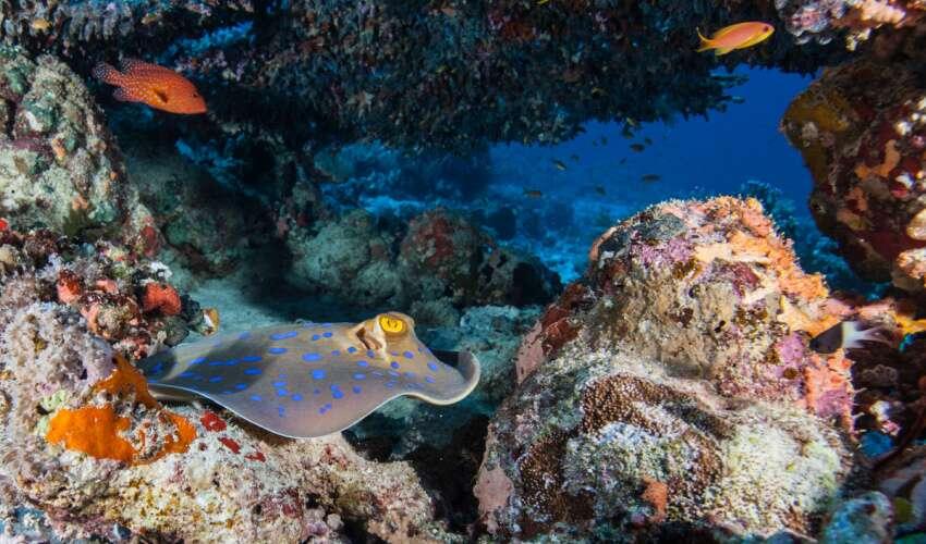 Raie rubanée, tachetée de bleu, de moindre préoccupation. © Simone Caprodossi, UICN