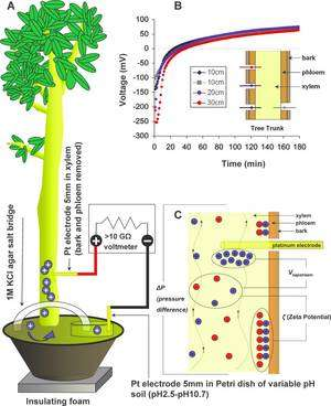 A: schéma général des expériences réalisées sur Ficus benjamina. La plante est placée dans un pot et enfermée dans une cage de Faraday (pour éviter les champs électromagnétiques éventuels qui fausseraient les mesures d'aussi faibles tensions). Une électrode est plantée jusque dans le xylème, l'autre placée dans une boîte de Pétri emplie d'une solution à pH variable. Ce liquide est électriquement en contact avec le sol par un pont en gel d'agar-agar contenant du chlorure de potassium (KCl). B: la tension mesurée ne dépend pas de la hauteur à laquelle est plantée l'électrode (bark, écorce; phloem, phloème; xylem, xylème) mais elle disparaît lorsqu'un lame de rasoir coupe le xylème au-dessus ou au-dessous de l'électrode. C : le potentiel mesuré varie avec le potentiel zêta (électrostatique) entre le centre du vaisseau capillaire et ses parois, avec la variation de pression (delta-P) et avec la vitesse de la sève (Vsapstream). (Cliquez pour agrandir.) © C. J. Love, S. Zhang et A. Mershin/PlosOne