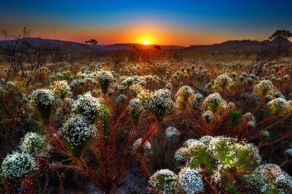 Les fleurs de la savane du Cerrado