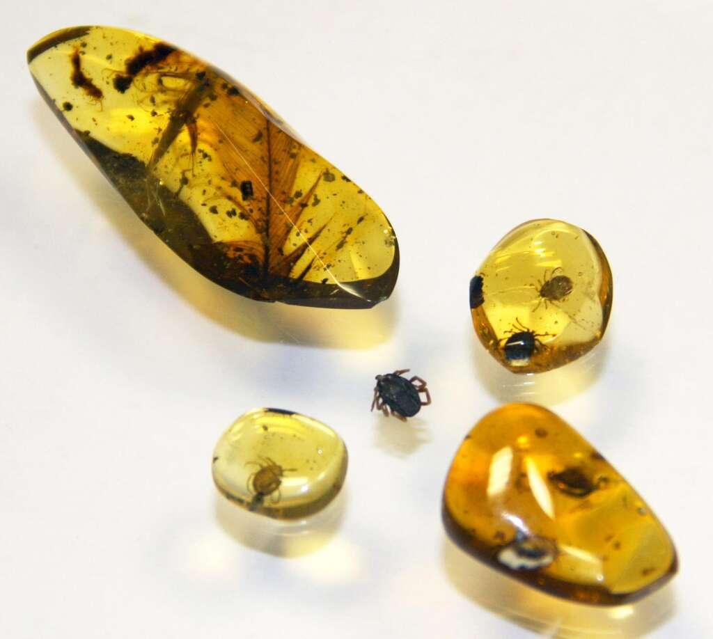 D'autres fragments d'ambre de Birmanie avec des tiques. © E. Peñalver