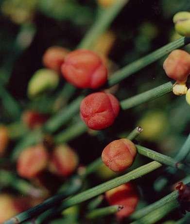 Ephedra, un arbuste que l'on trouve dans les forêts dunaires. domaine public