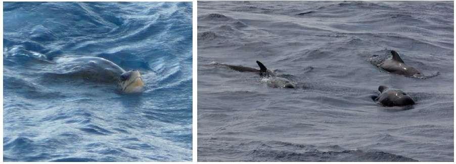 Si la mission au rift du Hess Deep est focalisée sur les fonds marins, en surface, tortues (à gauche) et globicéphales (à droite) tournent autour du JOIDES Resolution. © Jean-Luc Berenguer