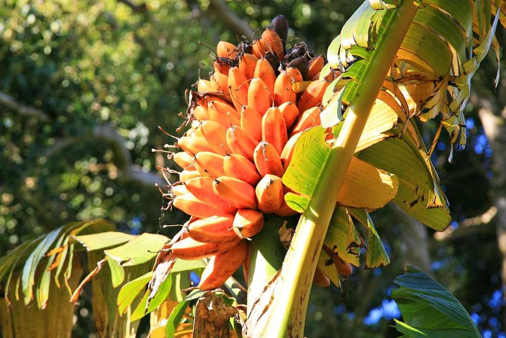 Les bananes « Fei » , délicieuses une fois cuites