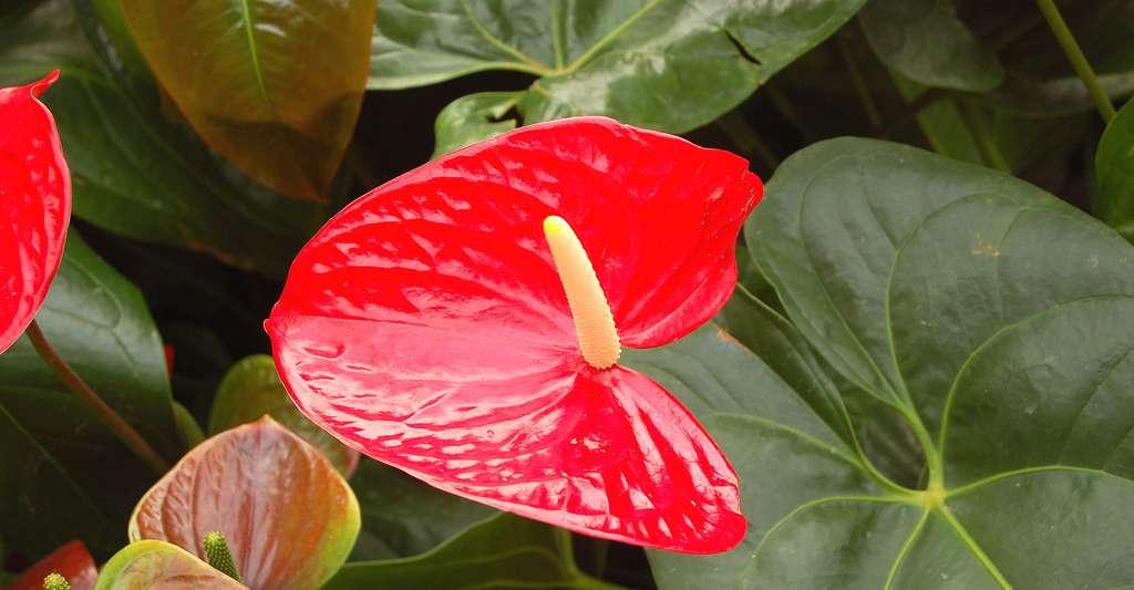 Quel arrosage et quel entretien pour Anthurium andraeanum ? © Tim Waters, CC by-nc 2.0