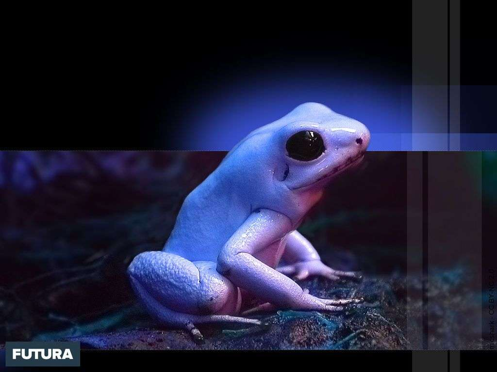 Grenouille blanche