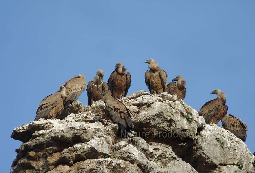 C'est à partir de trois ans que les jeunes vautours sont relâchés pour fixer des colonies dans le Verdon. © C. Aussaguel, DR
