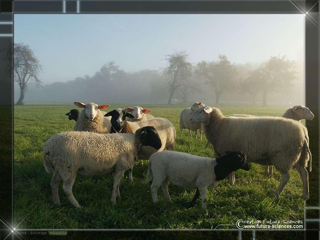 Moutons, brebis, agneaux