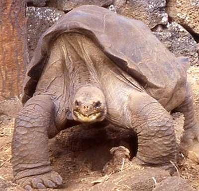 Malgré son apparence massive, George la tortue géante ne pesait que 90 kg. Sa carapace mesurait 102 cm de long aux dernières nouvelles. © Chelonian Research Foudation