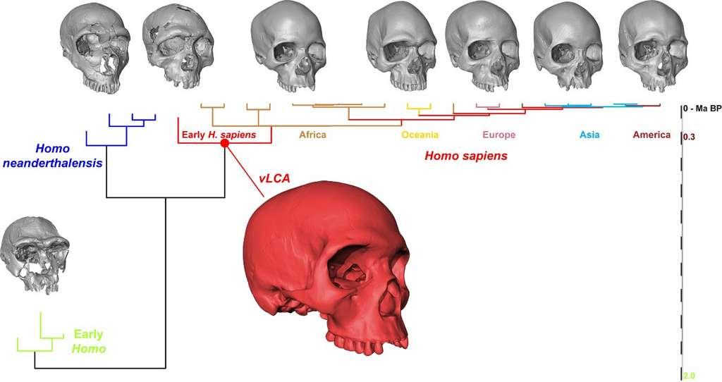Arbre représentant les 29 populations humaines étudiées, fossiles et actuelles. Les crânes gris sont tirés de l'échantillon utilisé pour reconstruire celui de l'ancêtre virtuel (en rouge). De gauche à droite : KNM-ER 3733 (H. ergaster), La Ferrassie (H. neanderthalensis), Qafzeh 6 (H. sapiens fossile), Kh-1739 (Afrique du sud, Khoikhoi), AUS001 (Australie), Eu.34.4.1 (Hongrie), EAS-ORSA0427 (Chine) et NA82 (Huron, Canada). © Aurélien Mounier, CNRS/MNHN
