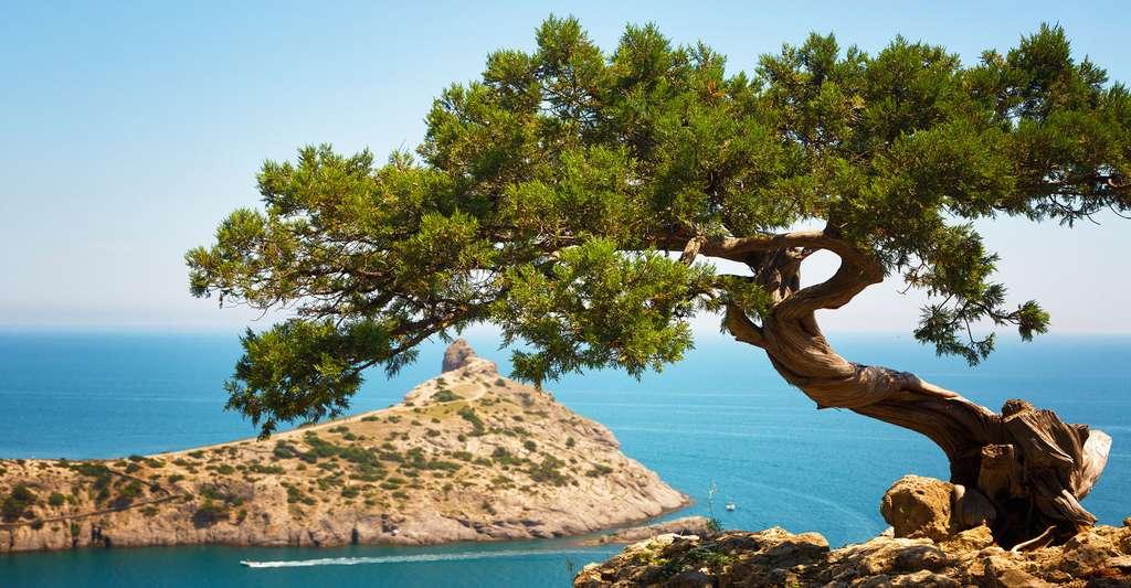 Juniperus communis. © Shchipkova Elena, Shutterstock