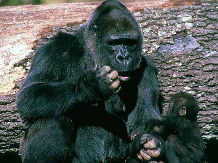 Gorille adulte