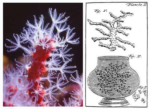 Figure 3 : extrémité d'une branche de corail rouge avec les polypes très épanouis, photographié en plongée, à Marseille, et figure de L. F. Marsigli (1707) illustrant l'expérience qui lui permit de voir fleurir le corail récolté par des corailleurs marseillais. © J.-G. Harmelin, tous droits réservés, reproduction et utilisation interdites
