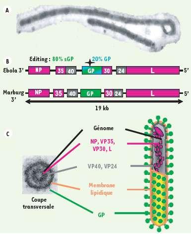 Organisation du génome des filovirus de type Ebola et Marburg. La glycoprotéine (GP, en vert), située sur la membrane, permet au virus de pénétrer dans la cellule. Les protéines NP, VP35, VP30 et L (en rose) transcrivent et répliquent l'ARN génomique. © Nathalie Alazard-Dany et al, Médecine/Science/Inserm, 2006